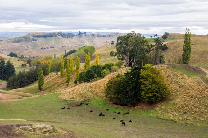 Cows and trees, pastoral farm land in the middle of nowhere, upper Rangitikei.