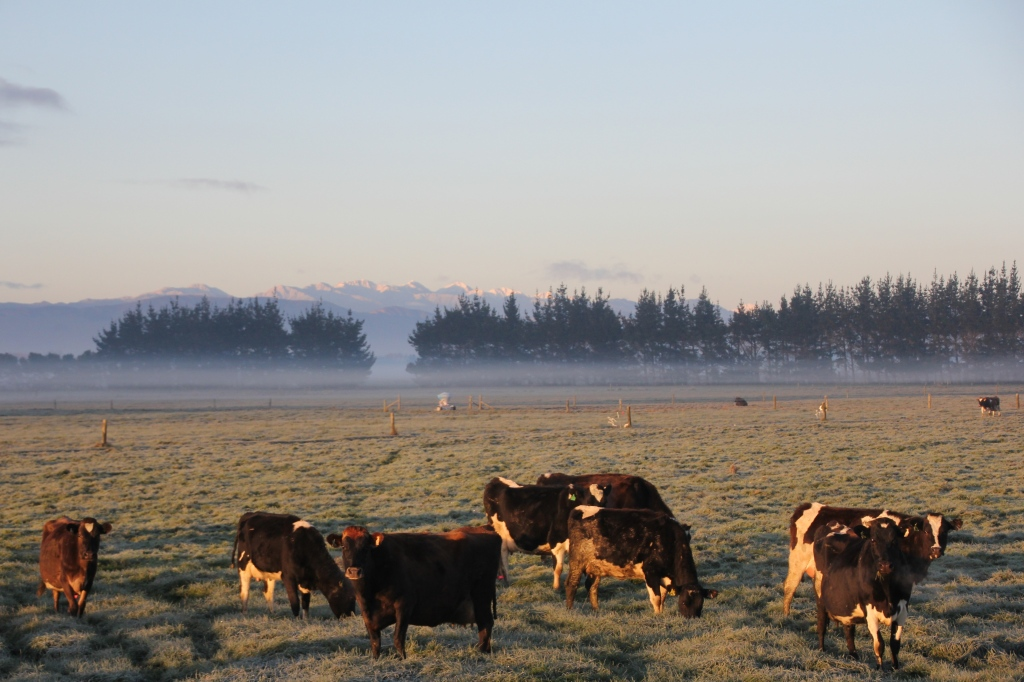 Cold cows, early
