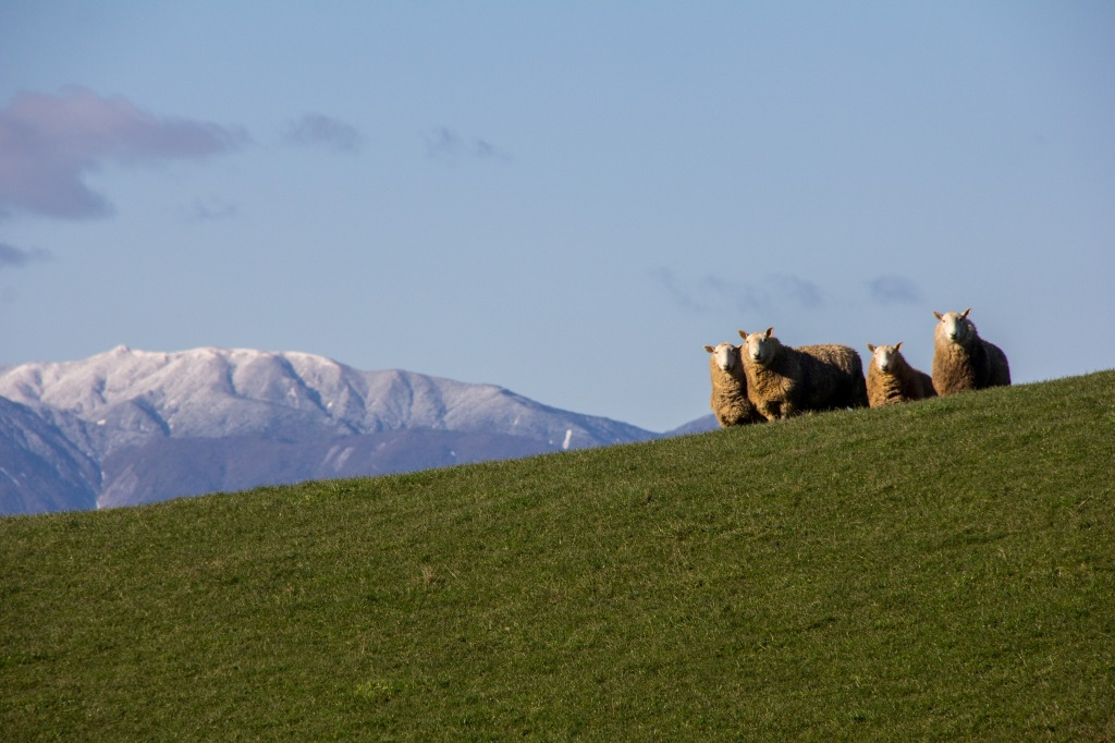 Sheep, four of them. Manawatu