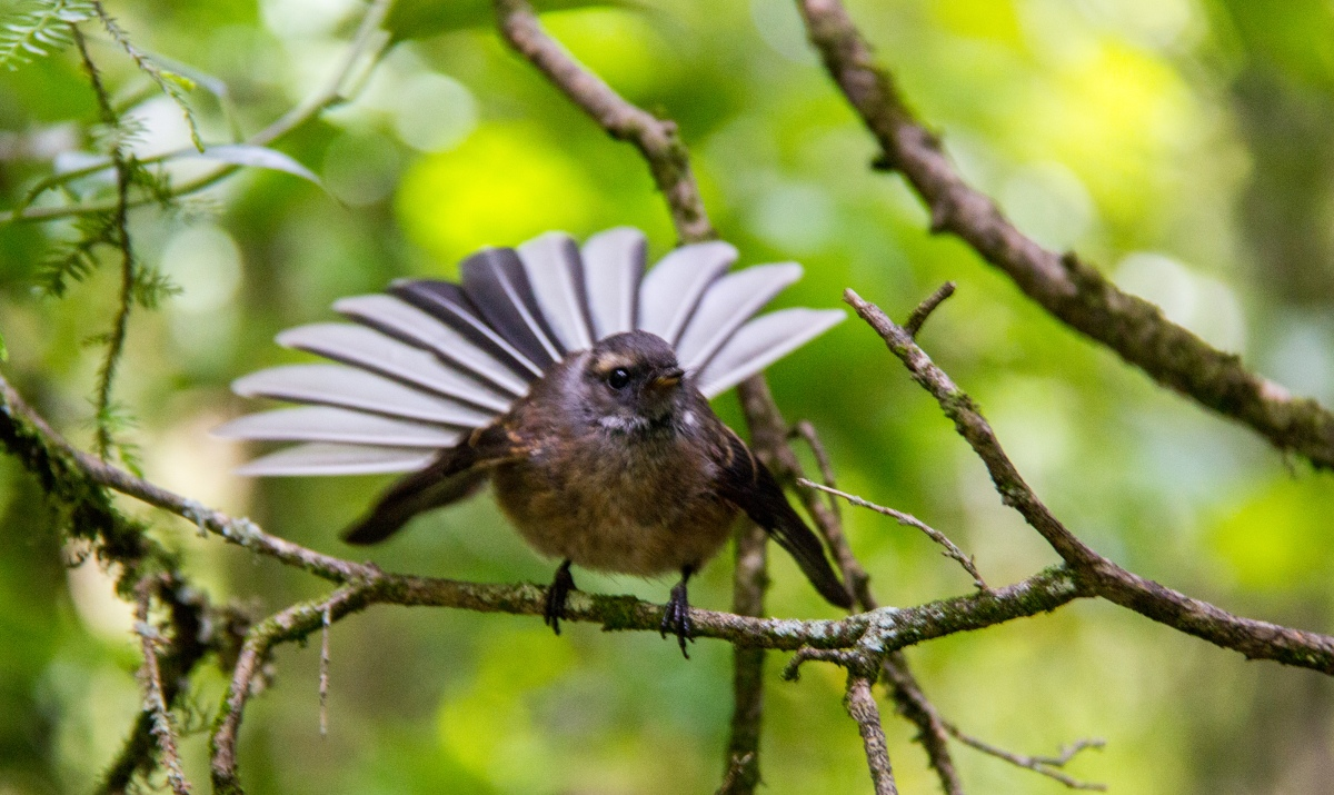 Baby Fantail song