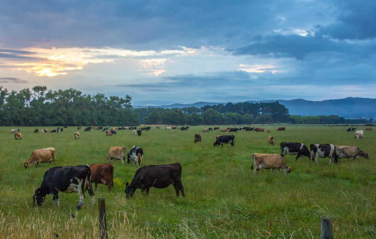 Cows dawn