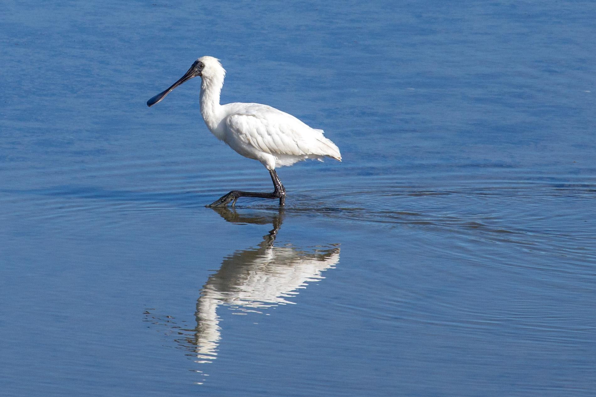 Spoonbill wading