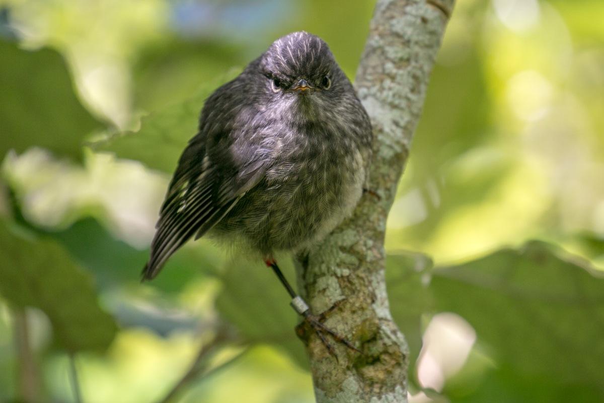 angry-robin