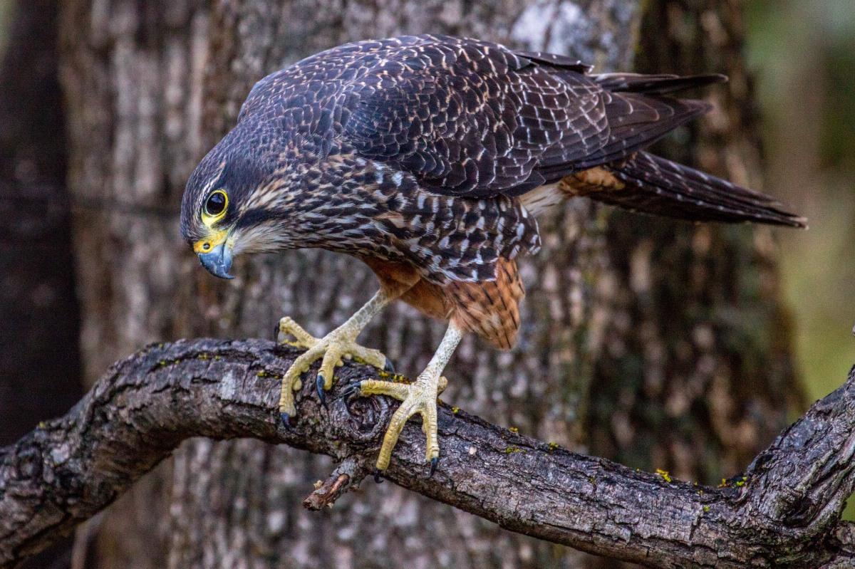 falcon-one