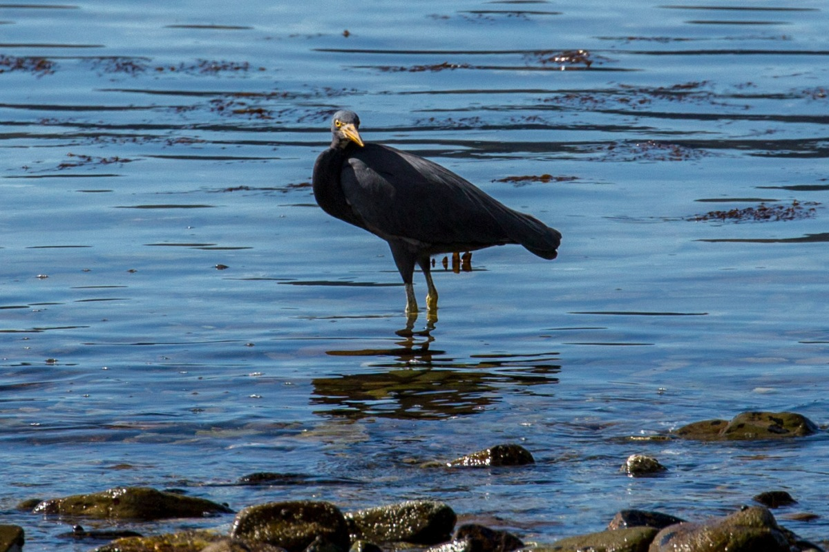 reef-heron