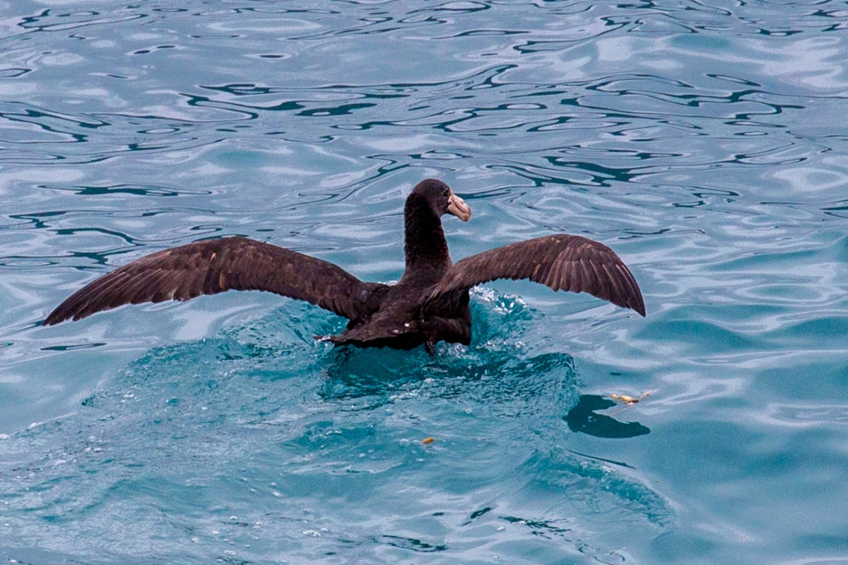 southern-giant-petrel