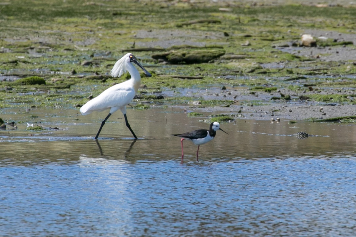 spoonbill-and-stilt