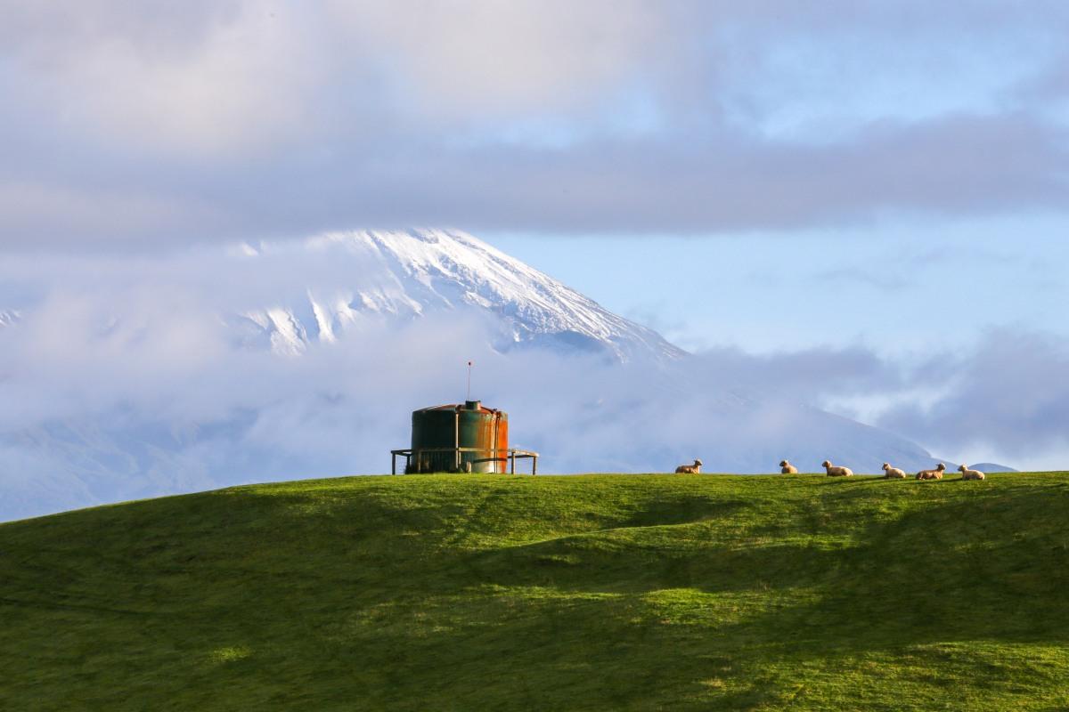 taranaki-sheep