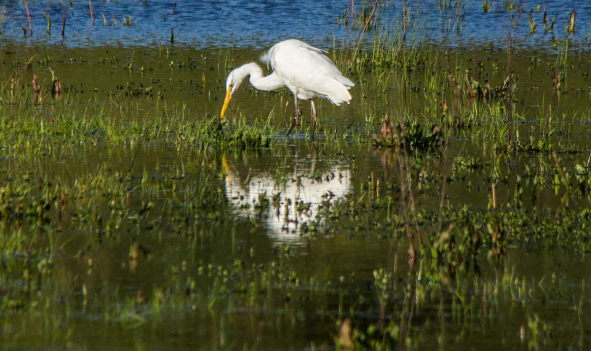 white-heron-sunday-admiring
