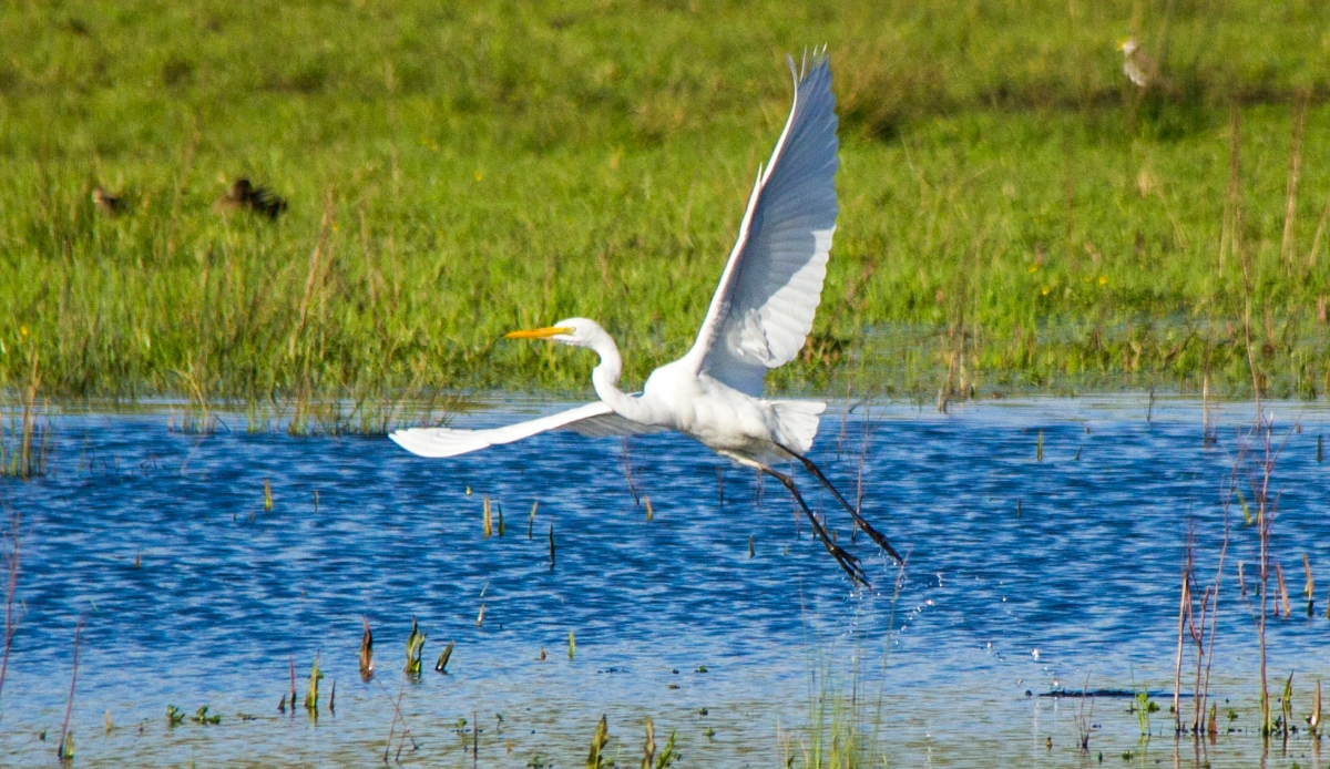 white-heron-sunday-flight