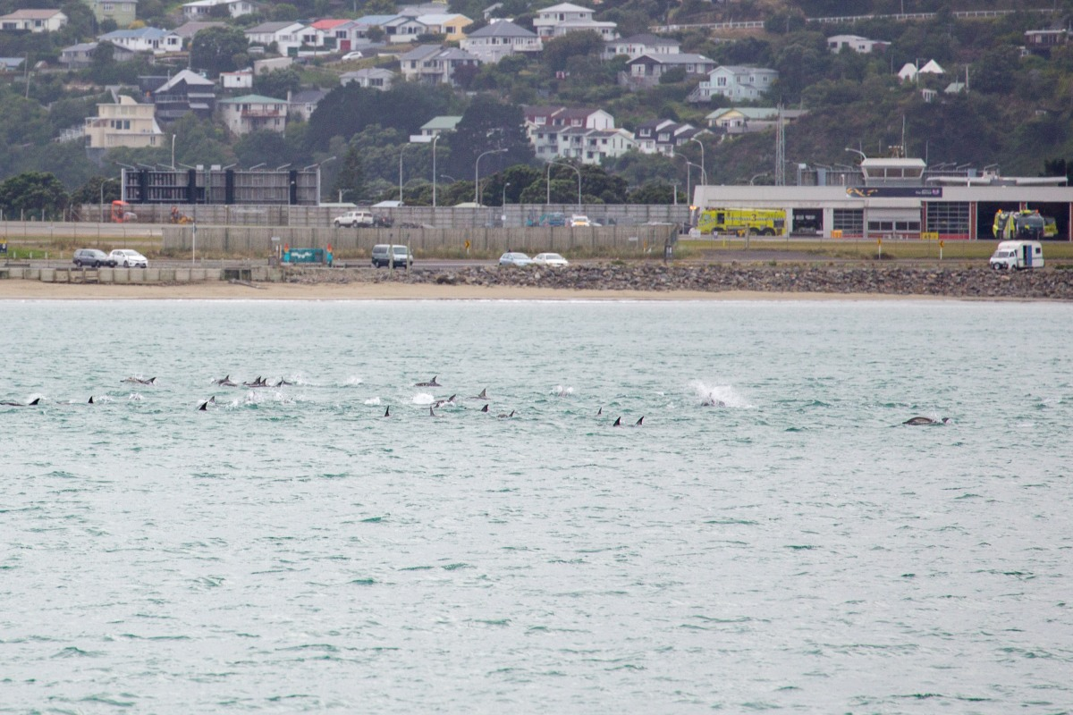 Dolphins Lyall Bay at Airport