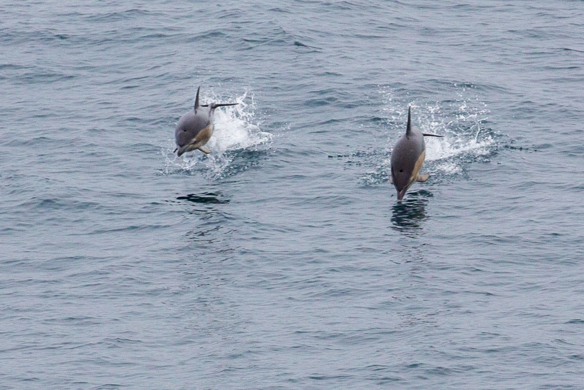 Ferry Dolphin pair