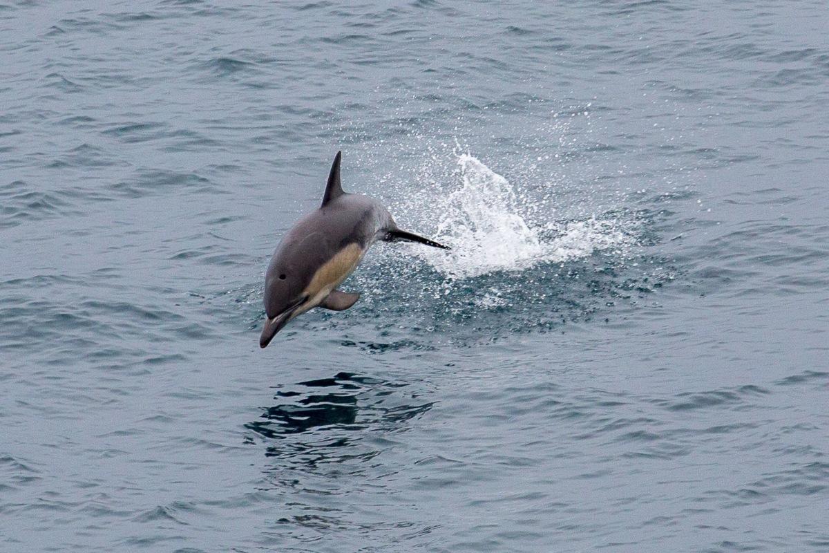 Ferry Dolphin scar