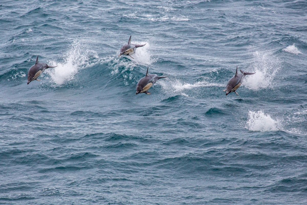Ferry Dolphins Four